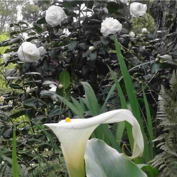 Camelias Costa Primavera en Costa del Este La Costa
