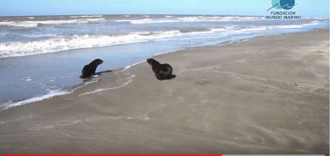 Lobo marino rescatado